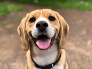 milk, dogs, do dogs drink milk, is milk good for dogs, is milk safe for dogs, should I give my dog milk, benefits of milk for dogs, side effects of milk for dogs, milk allergies and dogs, lactose intolerance in dogs