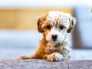 puppies, poop, stool, puppies and poop, puppies eating stool, puppies eating poop, dogs eating poop, why do puppies eat poop, how to stop puppies eating poop, stop puppies eating poop