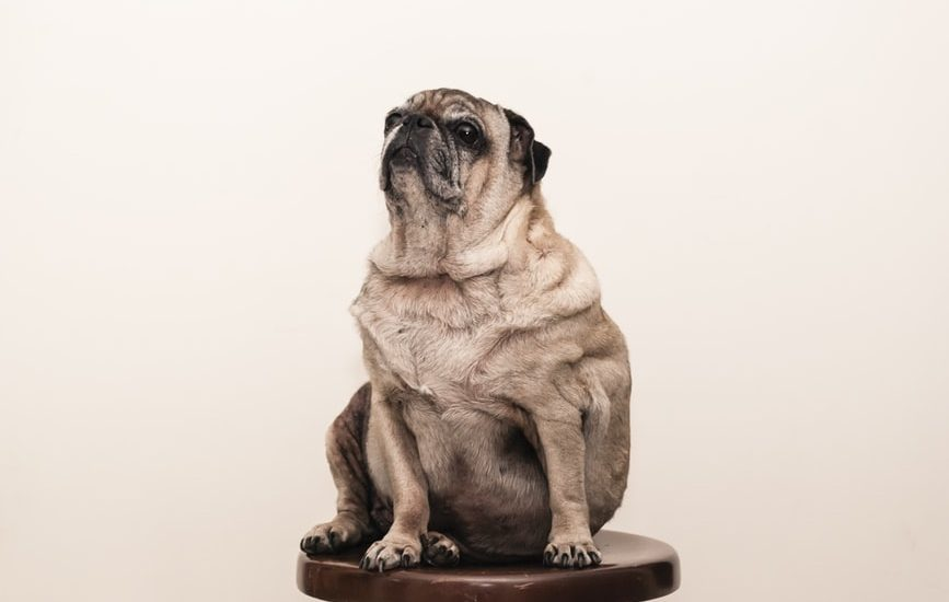 dogs, weight loss, weight loss for dogs, what to feed dogs for weight loss, weight loss diet for dogs, lose weight dogs, dog weight loss, how to get dog to lose weight, overweight dog, managing overweight dogs, feeding overweight dogs