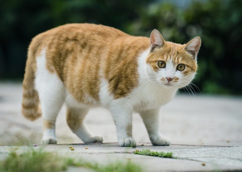 cats, weight loss, how to get cats to lose weight, weight loss for cats, weight loss tips tor cats, diet for cats for weight loss